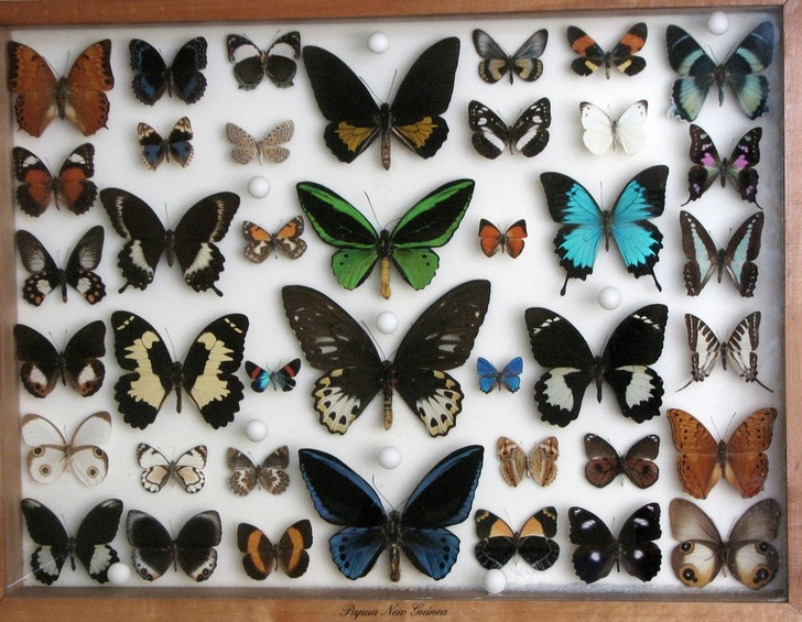 New Guinea Butterfly Collection